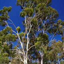 EUCALYPTUS (Corymbia) citriodora Lemon Scented Gum Seeds (E 4)