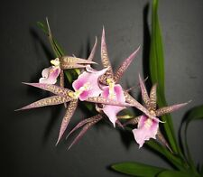 Mtssa. Charles M. Fitch 'Izumi' Am/Aos Orchid Plant - 2 spikes