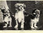 1930s Antique Tibetan Spaniel Print Vintage Tibetan Spaniel Photo Print 4297r