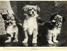 1930s Antique Tibetan Spaniel Print Vintage Tibetan Spaniel Photo Print 3519-L
