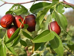 Jujube Seeds - Ziziphus jujuba - Chinese Red Date TCM Fruit Tree Planting Seeds