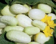 Cucumber Seeds Miniature White 50 Days 200 Seeds