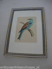 Antique framed bird print Roller Coraciidae / antieke vogelprent scharrelaar