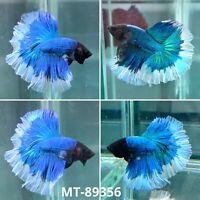(MT-89356) Blue Butterfly Fancy Tail Over Halfmoon Live Male Betta Fish Grade A+