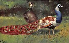 POSTCARD   BIRDS    PEACOCKS