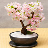 Sakura Bonsai Flowers Cherry Blossoms Tree Blossom Plants Garden O 10 Pcs Seeds