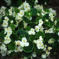 200 Begonia Wax White