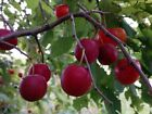 Wild Plum, American Plum, Common Wild Plum Prunus americana 10 seeds