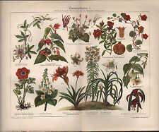 Chromo-litografía 1908: habitación plantas I. Passiflora coerula Punica granatum