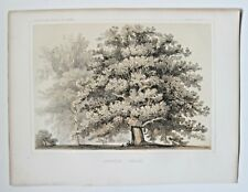 QUERCUS HINDSII Valley Oak Tree 1857 USPRR Railroad Survey Colored Lithograph