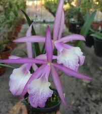 Do Clone -Bc. Jairak Kikyu, Brassavola, Cattleya, Orchid