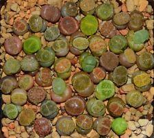Mixed 50pcs Lithops Seedings (0.6-0.9cm)