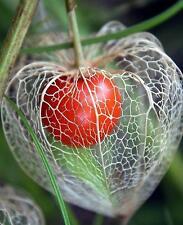 Fruit seed - Chinese Lantern Goldenberry Physalis peruviana  - Pack of 15 Seeds