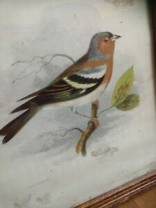 Beautiful Original Antique Framed Hand-Colored Engraving, Bird Print Chaffinch