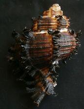 Muricidae- Hexaplex cichoreum  83mm F++/F+++, black color form,,,Philippines