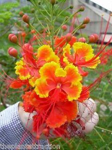 Caesalpinia Pulcherrima 10/25/100/500 Seeds Barbados Flowering Shrub / Tree, USA