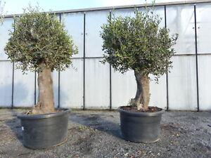 Olivenbaum Copa Baja Olive Bonsai 60 Jahre, winterhart. Olea europaea