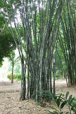 30 GRAINES DE BAMBOU MÂLE (Dendrocalamus strictus) GIANT BAMBOO SEEDS SAMEN