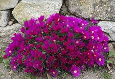 Lampranthus mixed species - Ice Plants - 25  Seeds