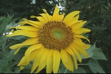 Sunflower annuus Titan 10 seeds