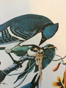 "Blue Jay Audubon Bird Print Picture Poster 15"" x 11.5"" Lithograph 282"