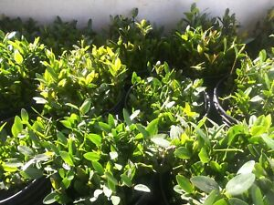 😎5 RED MANGROVE🌱 PLANTS W/ LEAVES & ROOTS SALTWATER FRESHWATER BRACKISH 🐟