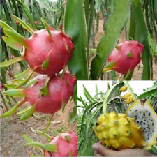 100pcs Hylocereus Dragon Fruit Pitahaya Seeds Bonsai Mix Nourishing Sweet Cactus