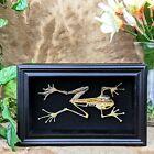 Y90B (PB) Taxidermy Oddities curiosities half-skeleton White-lipped Tree Frog