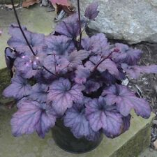 Heuchera[Coral Bells Electric Plum Starter Plant Spring 2018 Shipping