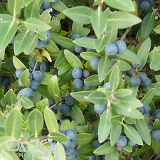 EVERGREEN PRIVET (Phillyrea Angustifolia) 30+EXTRA seeds (#406)