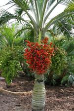 Buccaneer Palm   Pseudophoenix sargentii   10 Fresh Seeds    (Free Shipping)