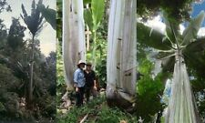 MUSA INGENS - 5 Giant Banana Seeds