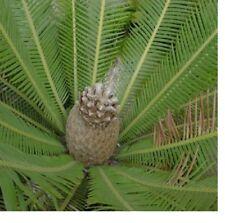 5X Dioon Edule mexicain fougère-palmier graines Gartenpflanze frais Nouveauté #