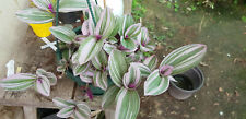 Tradescantia 'Nanouk' one rootless cutting VERY rare house plant
