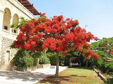 5 graines  FLAMBOYANT ROYAL(Delonix Regia)G159 FLAME TREE SEEDS SAMEN SEMILLAS