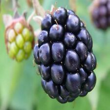 Blackberry Bush Seeds (Rubus laciniatus) 50+Seeds