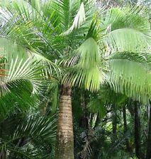 MAJESTIC PALM Ravenea rivularis indoor or outdoor plant in 200mm pot