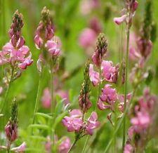 Wildflower Seeds - Sainfoin - 100 Seed