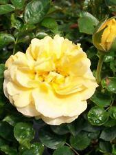 Julia Child Butter Gold 2 Gallon Rose Floribunda Plant Roses Hardy Zones 5-9 Now