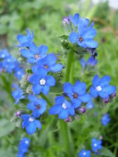 100 Blue Angel Anchusa Flower Seeds + Gift & Comb S/H