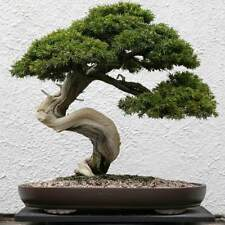 20pcs Common Juniper Juniperus Communis Home Garden Plant Bonsai Seeds Decor