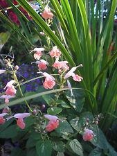 100+Salvia coccinea Seeds, Coral Nymph, Tropical Sage, Pollinators, + FREE BONUS