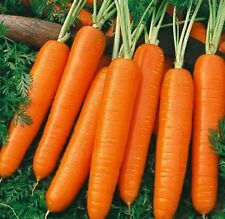 Carrot Nantes Coreless  Delicious Fine Grained COMBINED SHIPPING 850+ SEEDS