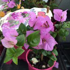 BAMBINO BLUEY Bougainvillea blue flowers dwarf plant in 140mm pot