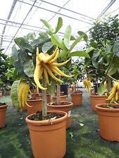 Zitronenbaum Citrus Medica Mano di Buddha ca. 80 cm Buddhas Hand