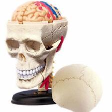 Modello cranio umano scatola cranica struttura medicina anatomia umana anatomico