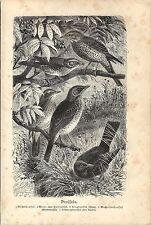 Stampa antica UCCELLI TURDIDI TORDO MERLO SASSELLO CESENA 1891 Old Antique print
