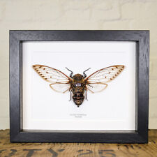 Cicada Pomponia in Box Frame from Thailand