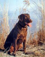 Chocolate Labrador Hunting Dog Wall Decor Art Print Picture (8x10)