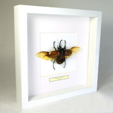 Real taxidermy insect mounted in white wooden frame - Eupatorus Gracilicornis